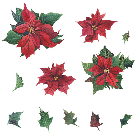 Watercolor poinsettia with Christmas floral decor. Hand painted traditional flower and plants: holly, mistletoe, berries and fir branch isolated on white background.