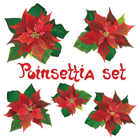 Red poinsettia vector flowers set. Christmas symbols illustration. Pulcherrima blooming plant on transparent background. Traditional Christmas poinsettia flower with green leaves and red petals. Illustration