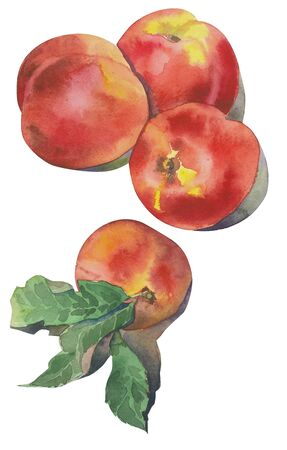 Hand drawn watercolor nectarines on white background. illustration of fruit peach or nectarine.