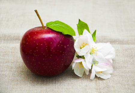 apple sack: Juicy red apple with blossom on sack background