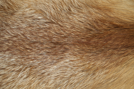 Background from fur of a red fox