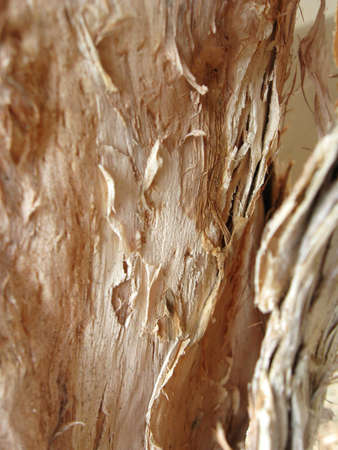 bark peeling from tree: A closeup shot of the naturally peeling bark of the Paperbark tree (melaleuca quinquenervia).  Bio-degradable paper is manufactured from this bark. Stock Photo