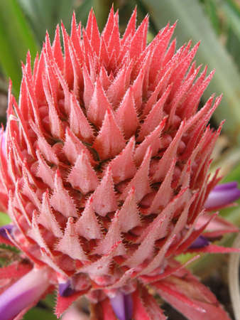 exotic plant: A closeup of a pink pineapple flower and its spiky petals.