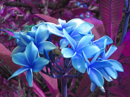 A bouquet of plumeria in surreal blue growing wild in the jungle.