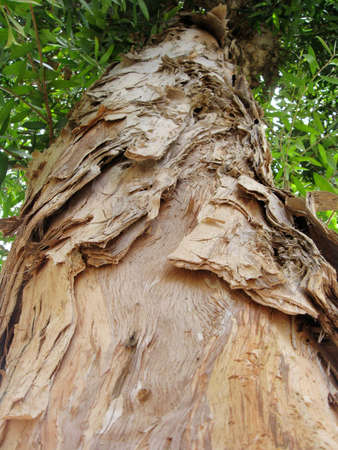 An upward glance of the naturally peeling bark of the Paperbark tree (melaleuca quinquenervia).  Bio-degradable paper is manufactured from this bark. photo
