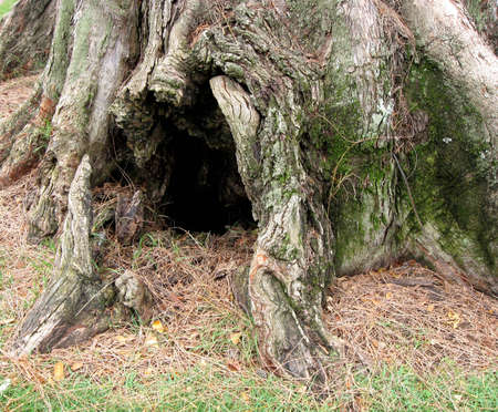 burrow: The entrance to a weathered burrow at the base of a pine tree. Stock Photo