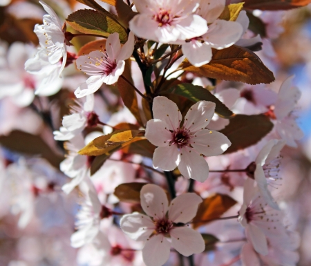 Blooming tree at spring, fresh pink flowers on the branch of fruit tree photo