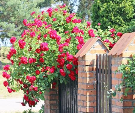 landshut: Roses at home
