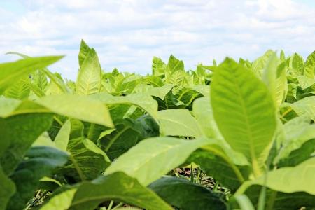 tabaco: Tobbaco plantación en Polonia