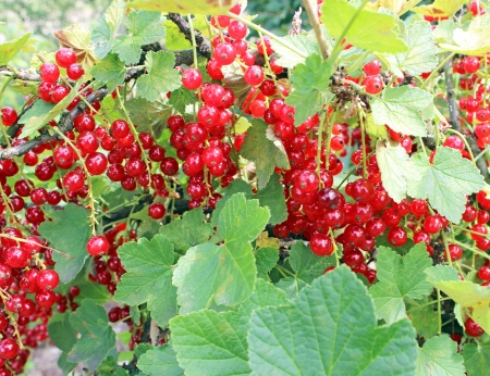gauzy: The red currants bush with unripe fruits