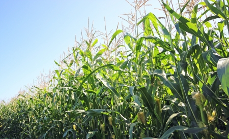 Corn plantation photo