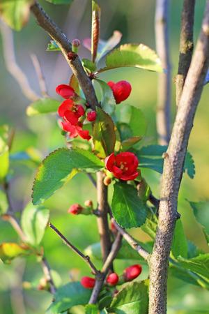 membrillo: flor de membrillo Foto de archivo