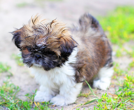 Young dog Shih Tzu photo