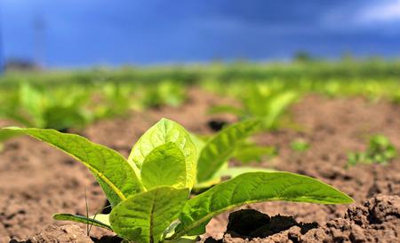 tabaco: Tobbaco plantación