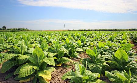 tabaco: el cultivo de tabaco en un campo en Polonia