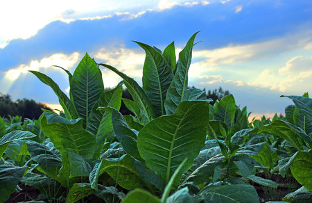 growing tobacco on a field in Poland Stock Photo