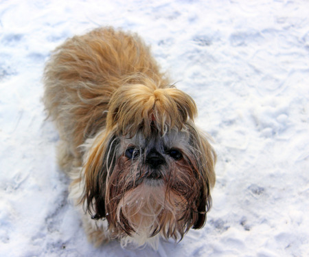 mucky: shi tzu dog