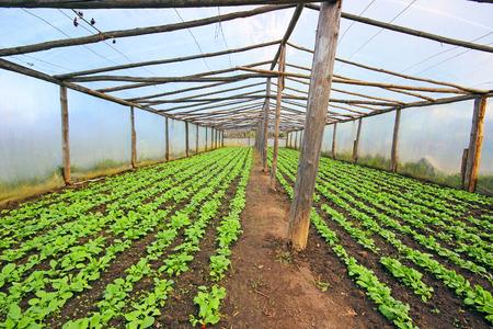 radishes: Greenhouse full of young radishes