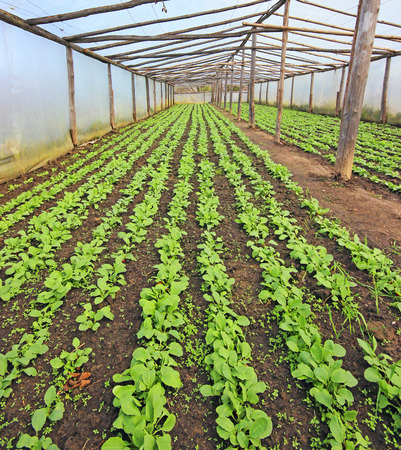 struts: Greenhouse full of young radishes