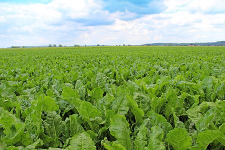 Feld von Zuckerrüben, Standard-Bild