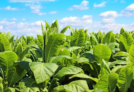 Tabaquería plantación en Polonia