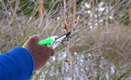 Pruning of trees with secateurs Stock Photo