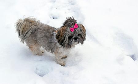 Shih tzu dog playing in snow.