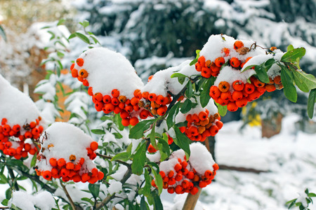 Red pyracantha berries covered by snow in winter