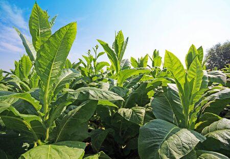 Plantación de tabaco en Polonia Foto de archivo