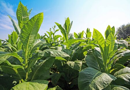 Tobacco plantation in Poland Stock Photo