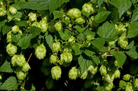 hop plant: A hop plant for manufacture beer.