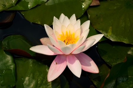 hydrophyte: Blooming water lily, the Latin name is Nymphaea alba