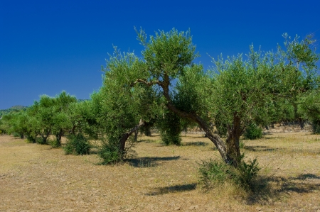 hellenic: A olive grove in Zakynthos island, Hellenic Republic