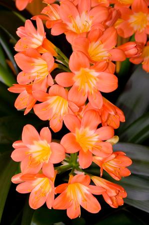 avocation: And flowers houseplants, latin name Clivia miniata.