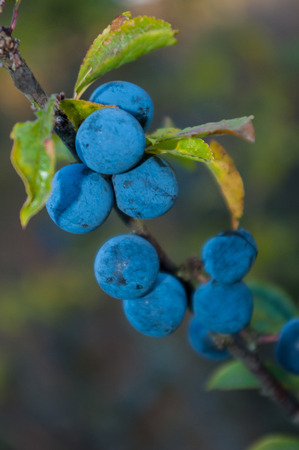 bitter fruit: Twig with blackthorn. The bitter fruit that grows in the wild. Stock Photo
