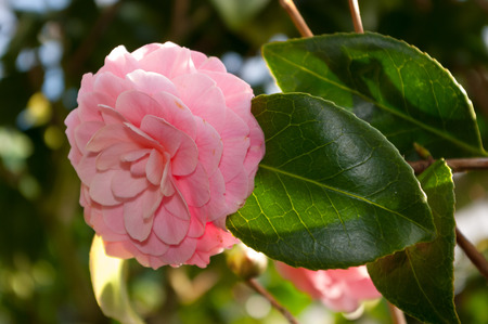 The flower of the ornamental shrub, which is called camellia.
