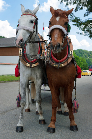 Brown and white horse in harness. These two horses are pulled into the car.