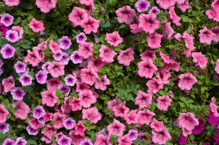 A close-up view of the plant flowers named Petunia surfinia.
