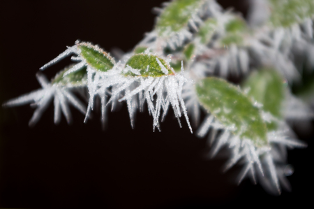 Some deciduous shrub covered with frost. Detailed view.