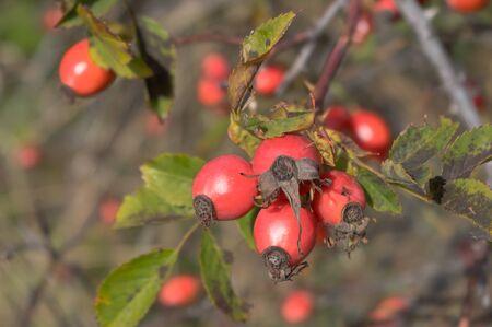 Rosehip, rose-hip fruit, Latin name Fructus cynosbati.