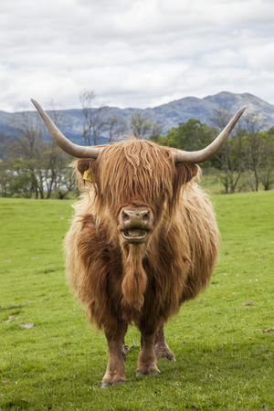 The famous Scotish Cattle, incredible cow - long hair, mighty horns, Highlands, Scotland photo