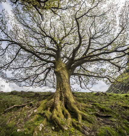 uplands: Branches and roots of big tree, Uplands, Scotland