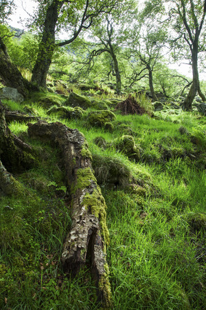 uplands: Fallen tree in green, mossy forest full of light, Uplands, Scotlandspring, Scotland Stock Photo