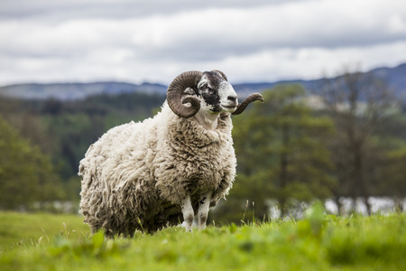 Incredible scottish sheep - long hair and mighty horns, Scotland Stock Photo