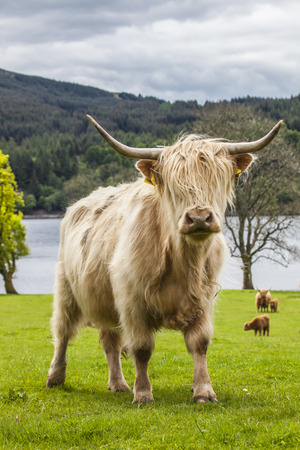 incredible: King of the Meadow - Incredible Scottish Cattle