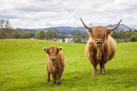 Family on the Meadow - Scottish Cattle and Calf Фото со стока
