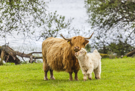 Family on the Meadow - Scottish Cattle and Calf photo