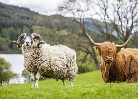 Horns and Horns - Sheep and Cattle, Scotland photo