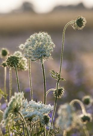 champ de fleurs: Sunrise on the Meadow, Field Flowers at Dawn