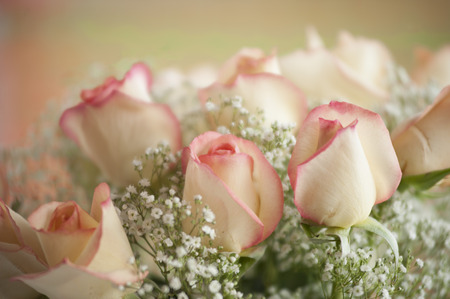 ivory and pink tipped color roses closeup with baby breaths making a beautiful wedding flower arrangement Stock Photo